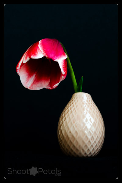 Miniature red and white tulip in a vase on black background.