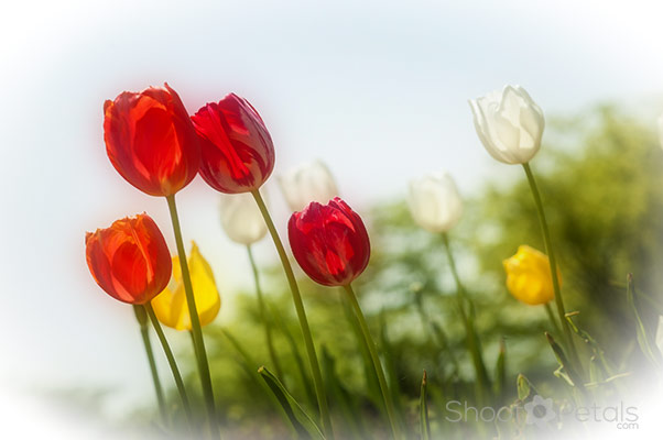 Dreamy, colourful tulips in the garden