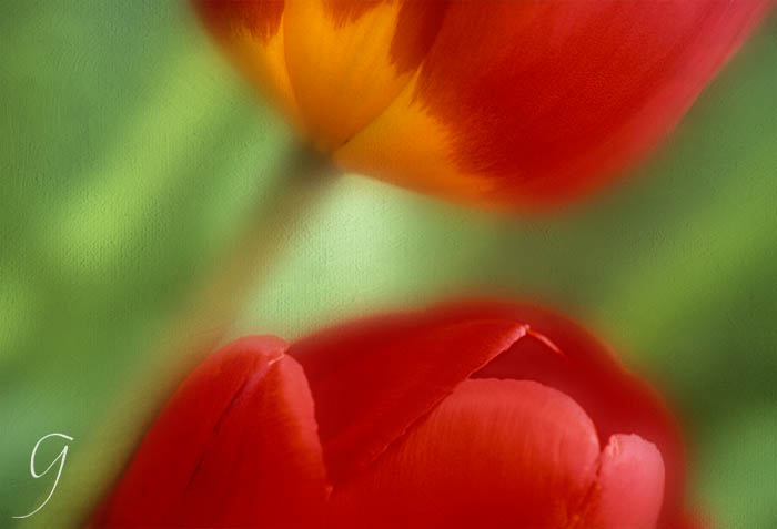 Brilliant red and yellow Darwinian tulips abstract