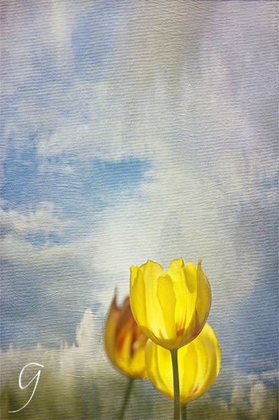 Translucent yellow Darwinian tulips.