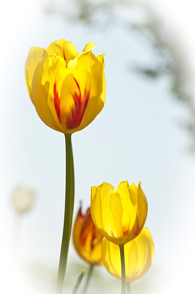 Translucent yellow and red tulips, with layers of white vignetting.