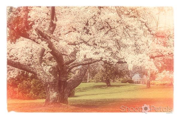 Vancouver Cherry Blossom Festival Queen Elizabeth Park Tree