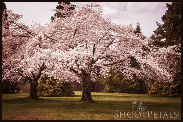 Two Graceful Cherry Blossom Trees