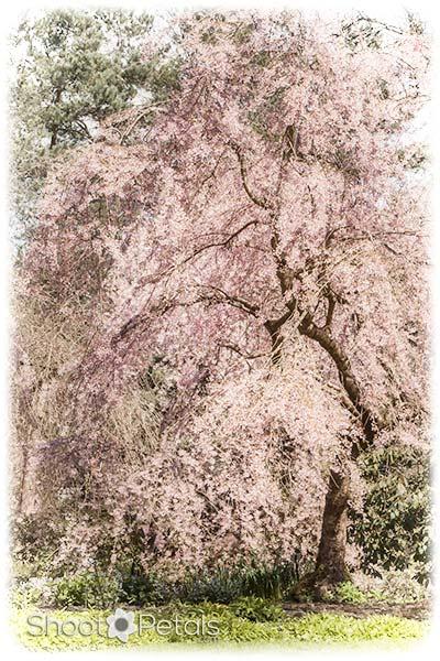 Vancouver Spring Cherry Blossom Festival.