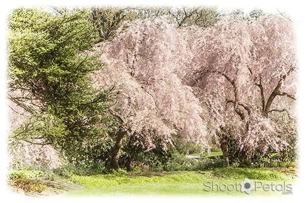 Vancouver Cherry Blossom Festival VanDusen Botanical Garden