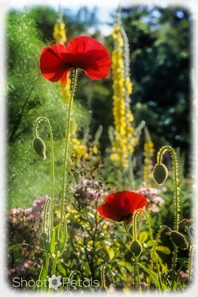 Backlit red poppies at VanDusen Botanical Garden