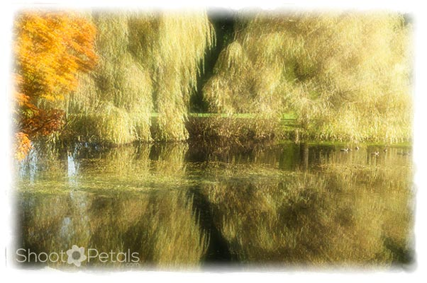 Willows and Reflections, Heron Lake