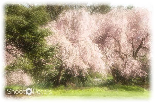 Radiant Cherry Blossoms at VanDusen Gardens