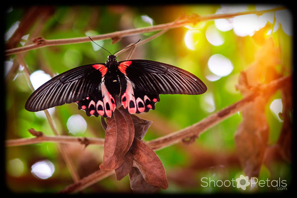 Victoria Butterfly Gardens scarlet mormon textures