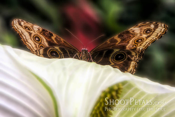 Victoria Butterfly Gardens, Blue Morpho On Lily