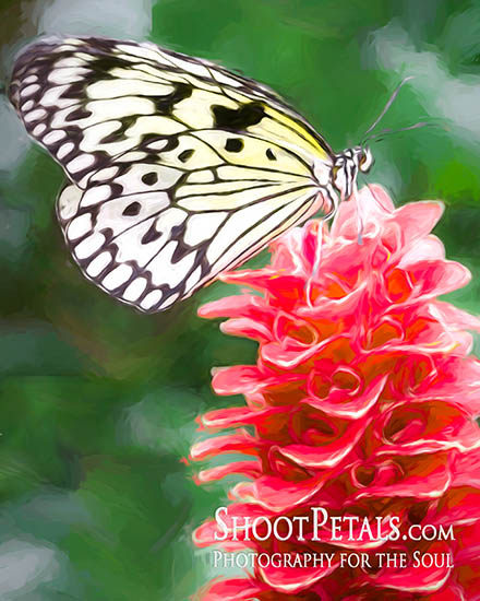 Victoria Butterfly Gardens is a photographer\'s flying flower fantasy.