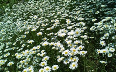 Field of white cosmos Daegu Botanical Garden Daegu South Korea