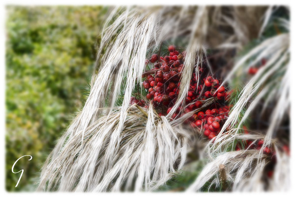Winter Grass and Berries