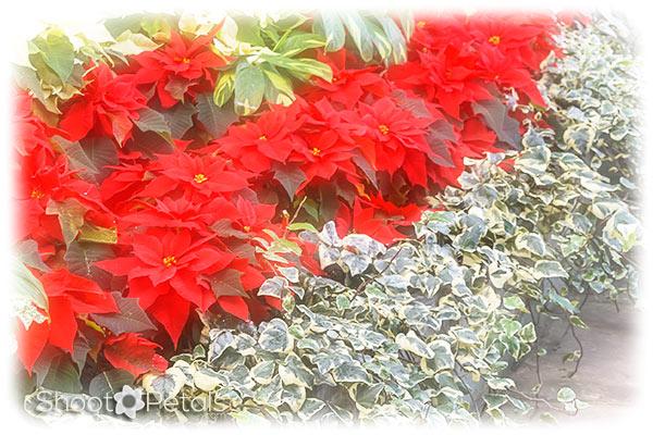 Winter garden poinsettias