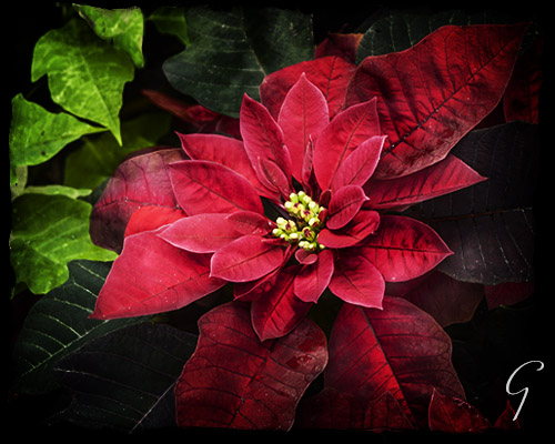 Winter Pictures Spotlight on Red Poinsettia