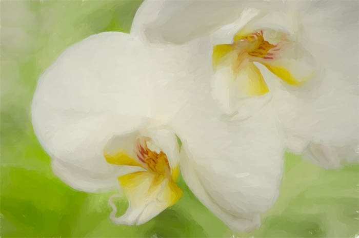 White Phalaenopsis Orchids Allan Gardens