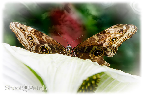 Victoria Butterfly Gardens Blue Morpho on Calla Lily