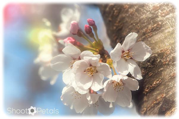 Cherry blossoms Daegu University South Korea