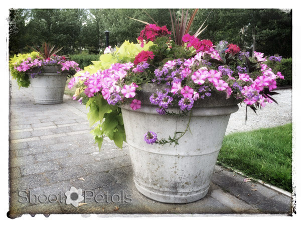 iPhoneography, Pink Petrunias in Planters