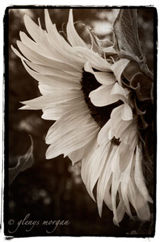 Beautiful sepia sunflower.