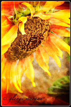 A fiery coloured sunflower