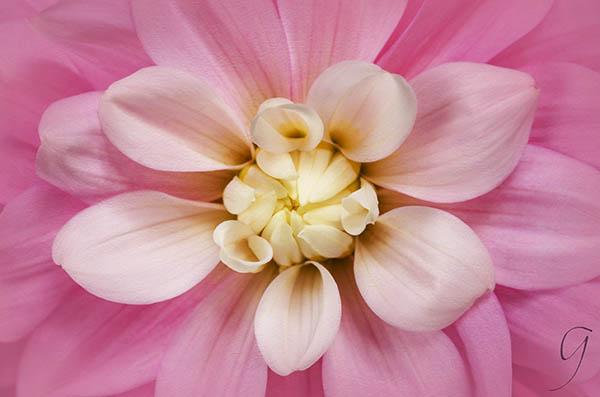 Pink Dahlia With White Centre Florets