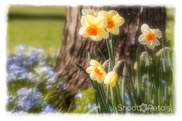 Blue flowers, white, yellow and orange daffodils