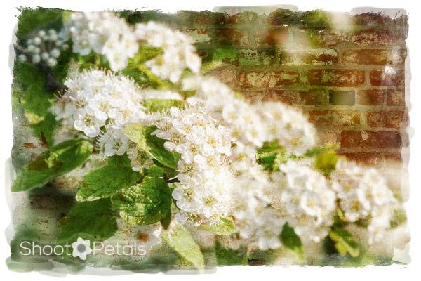 Spring hawthorne blooms at Daegu University.