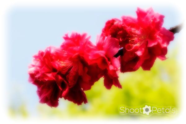Spring garden prunus blooms in glowing red.