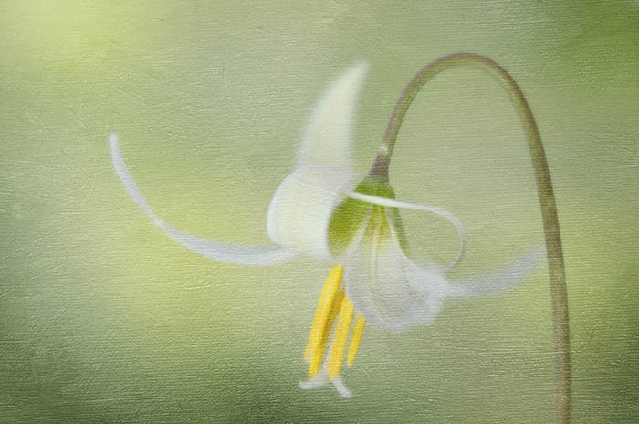 Spring White Fawn Lily Vancouver Island