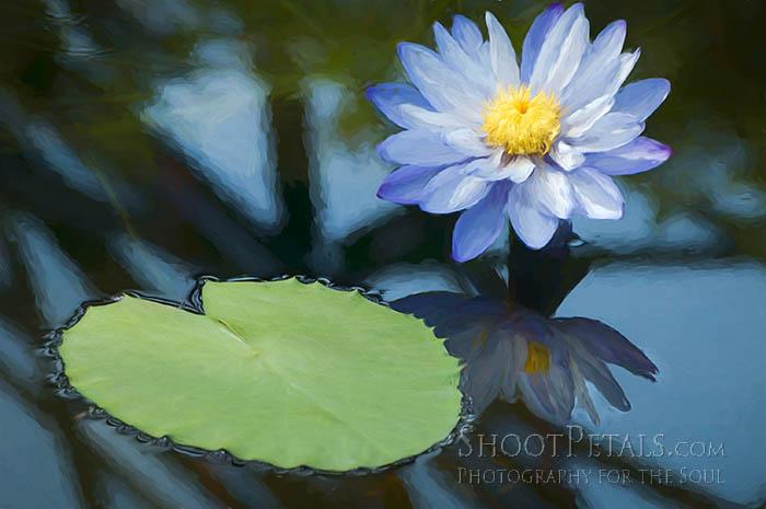 Painterly Blue Australian Water Lily