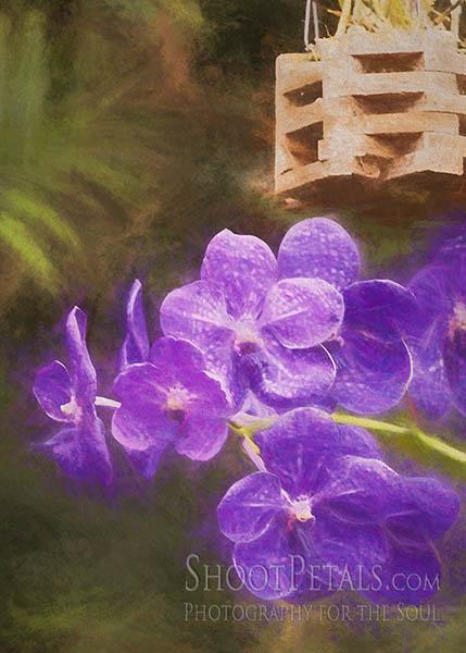 Purple Vanda Orchids Yeomiji Botanical Garden