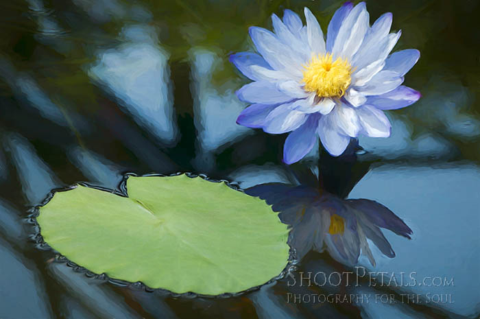 Painterly Blue Australian Water Lily