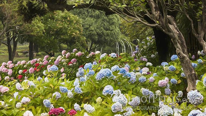 Yeomiji Botanical Garden Hydrangea Walk
