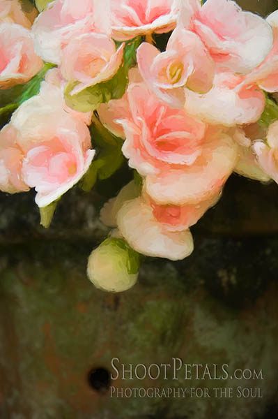 Pot Of Soft Pink Begonias